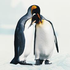 Pinguins-01vk