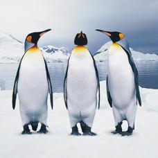 Pinguins-02vk