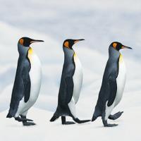 Pinguins-03vk
