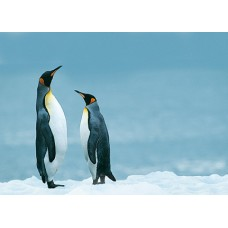 Pinguins-04