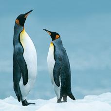 Pinguins-04vk